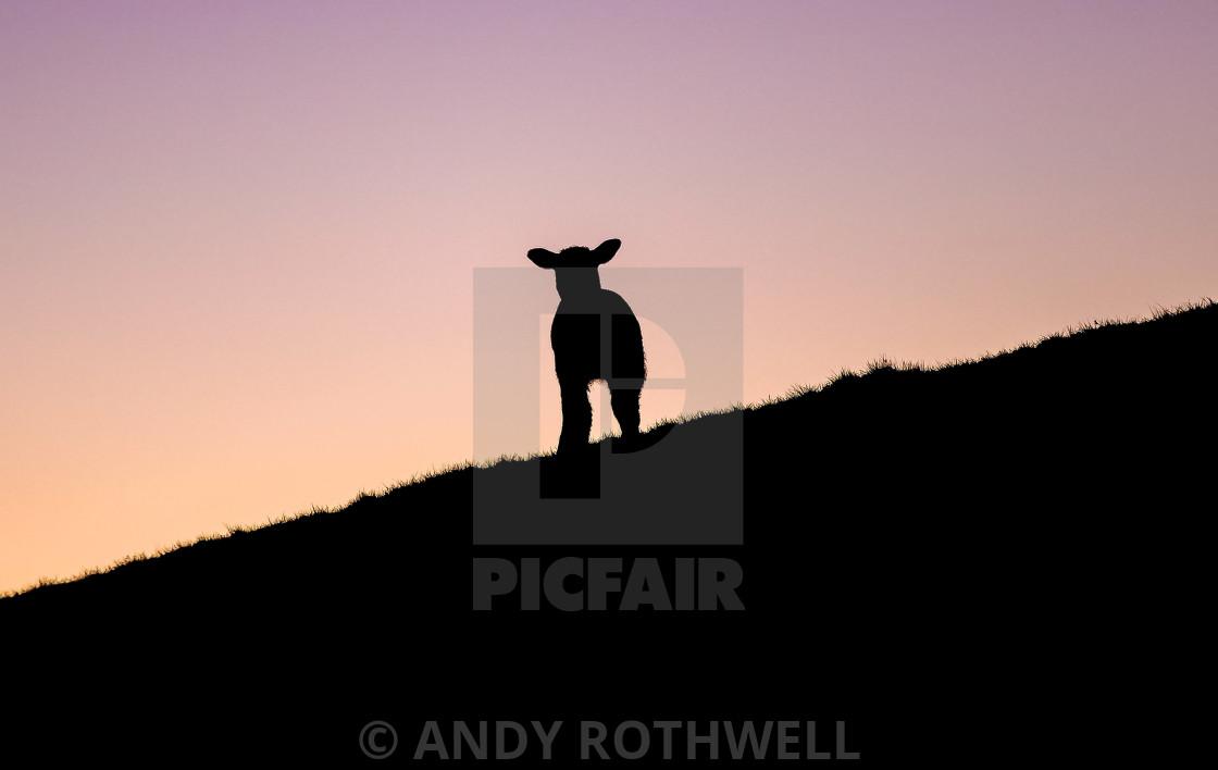 """Sheep silhouette."" stock image"