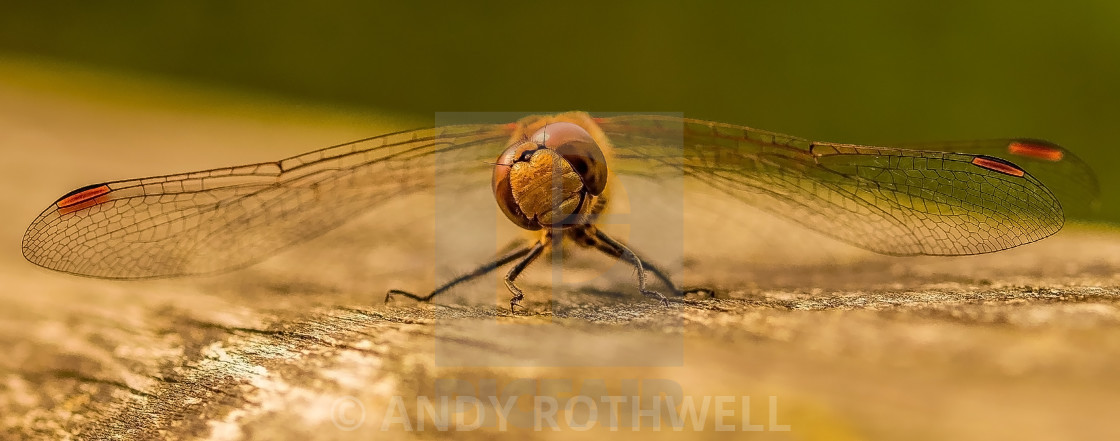 """""""The laughing dragonfly."""" stock image"""