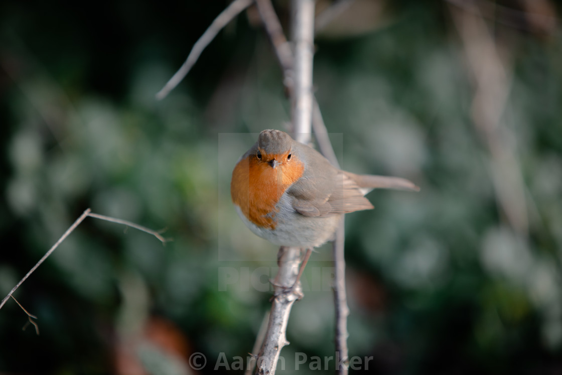 """""""Robin Perched on a Branch"""" stock image"""