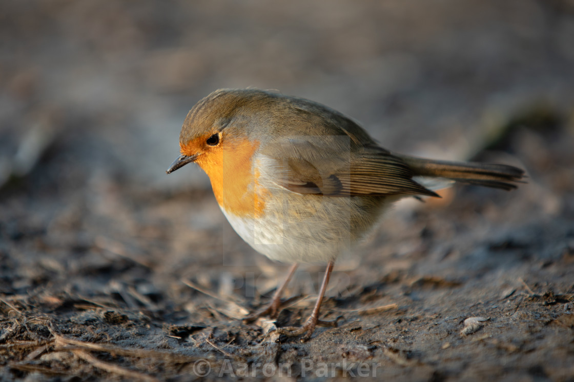 """""""Robin Foraging on the Ground"""" stock image"""