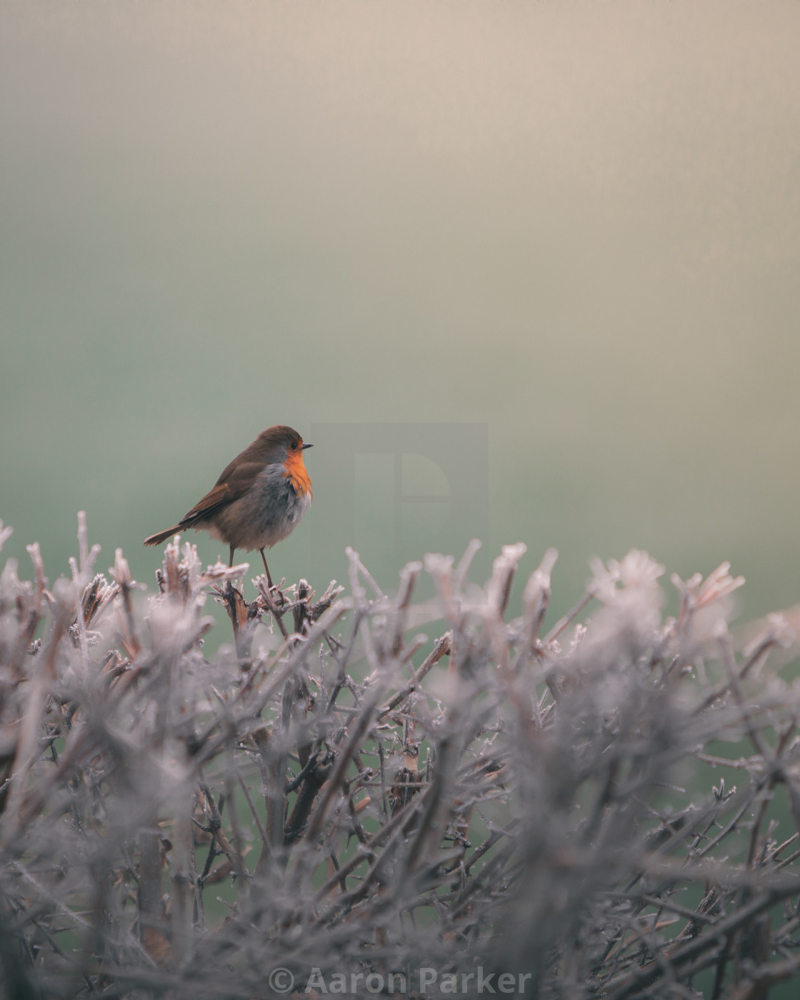 """""""Robin Basking in the Sunlight on a Frost Hedgerow"""" stock image"""