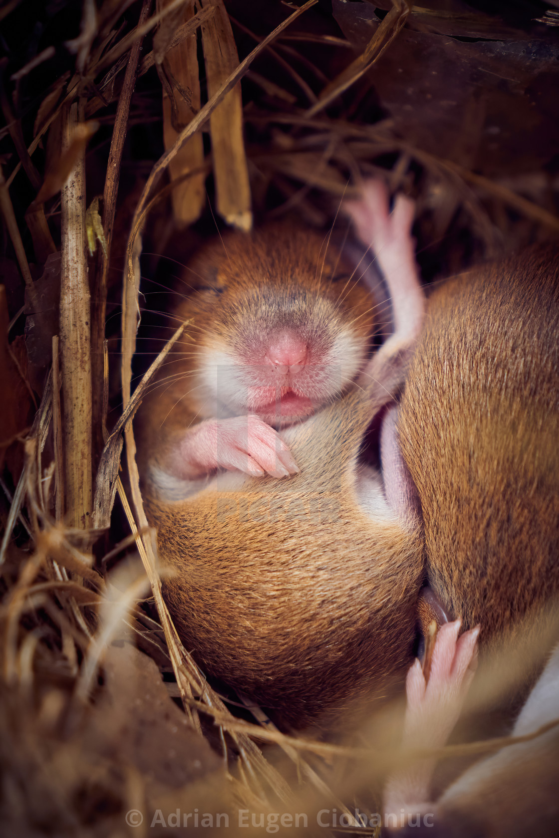 """""""Baby mice sleeping in nest in funny position"""" stock image"""