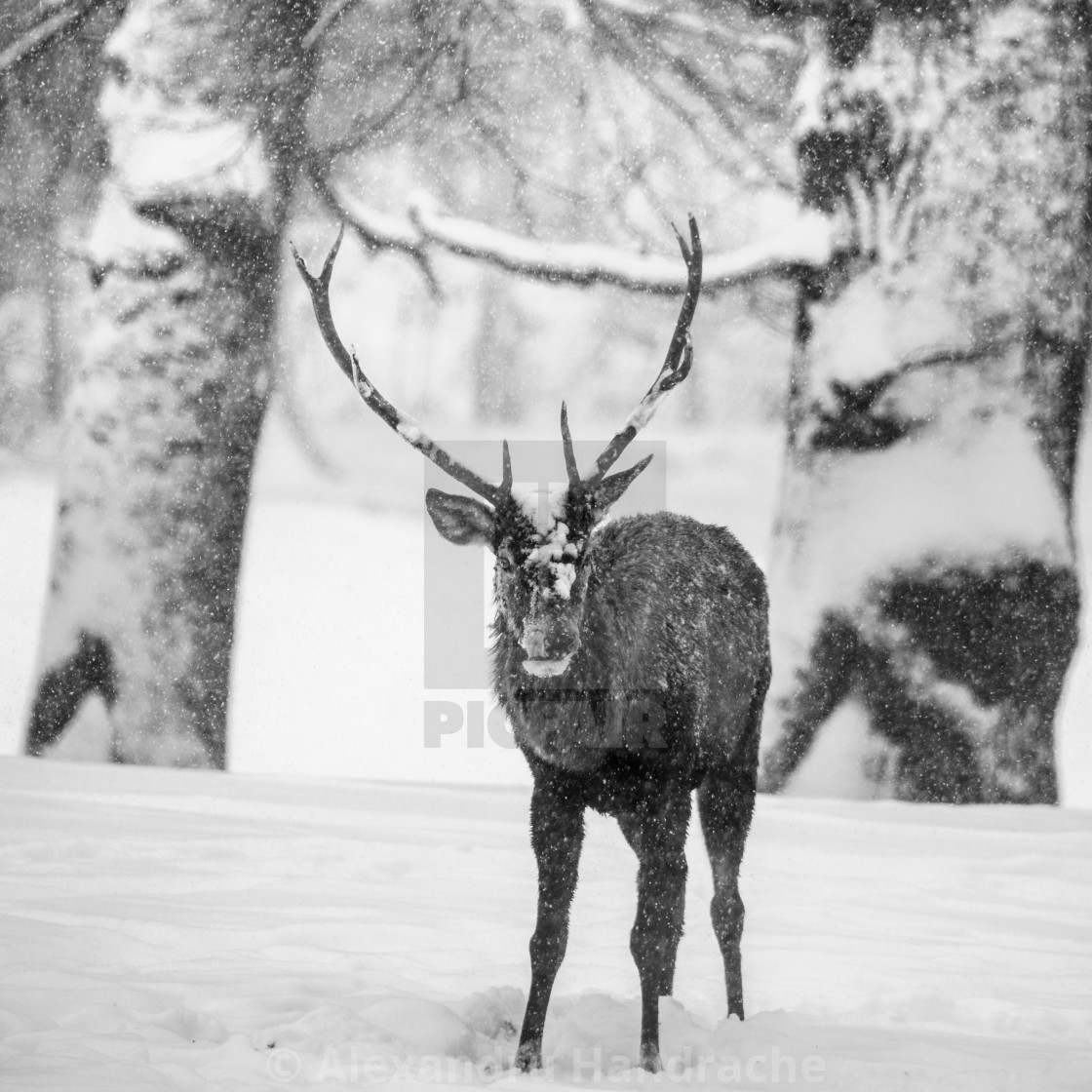 """""""Male deer in a forest"""" stock image"""