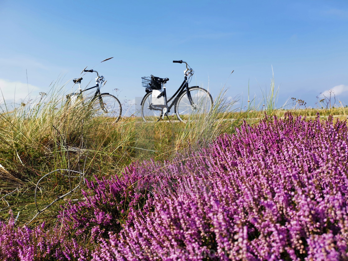 """Lavender Field"" stock image"