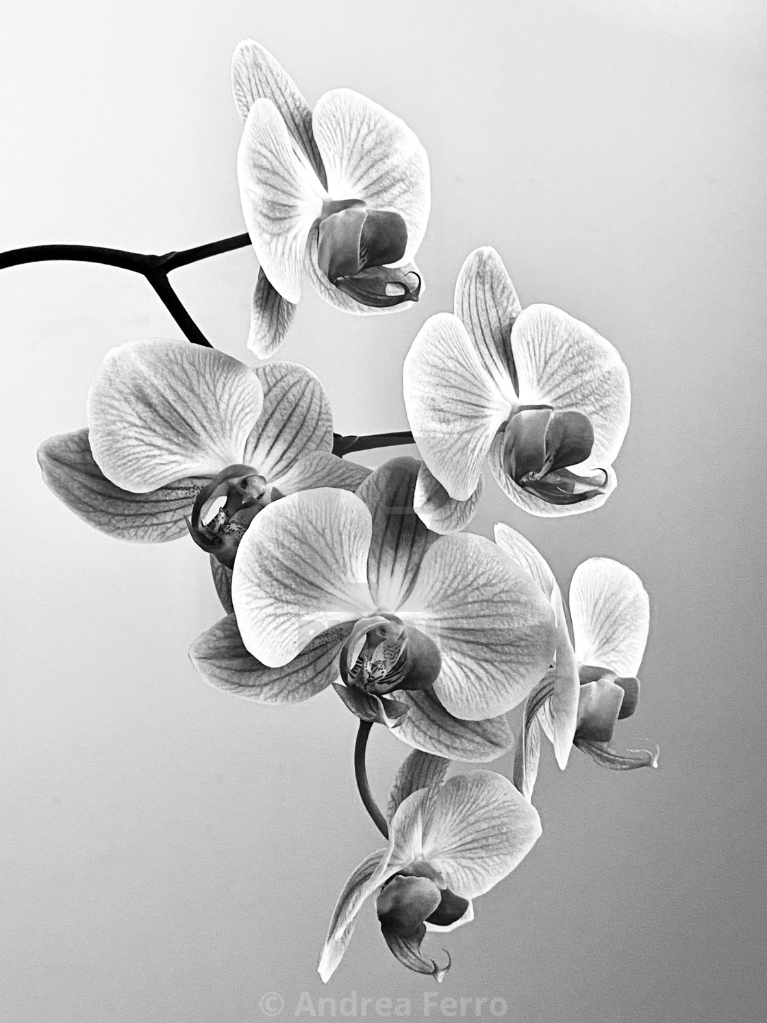 """Orchid Black and White"" stock image"