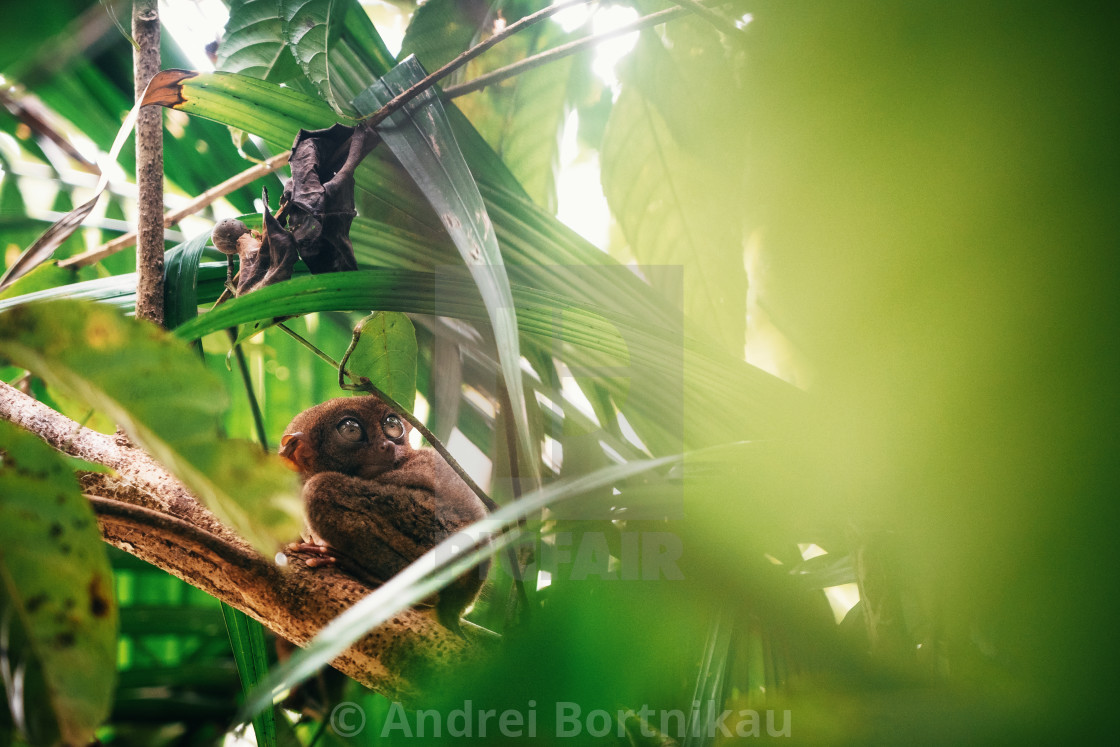 """Tarsier sitting on branch in jungle, Bohol island, Philippines."" stock image"