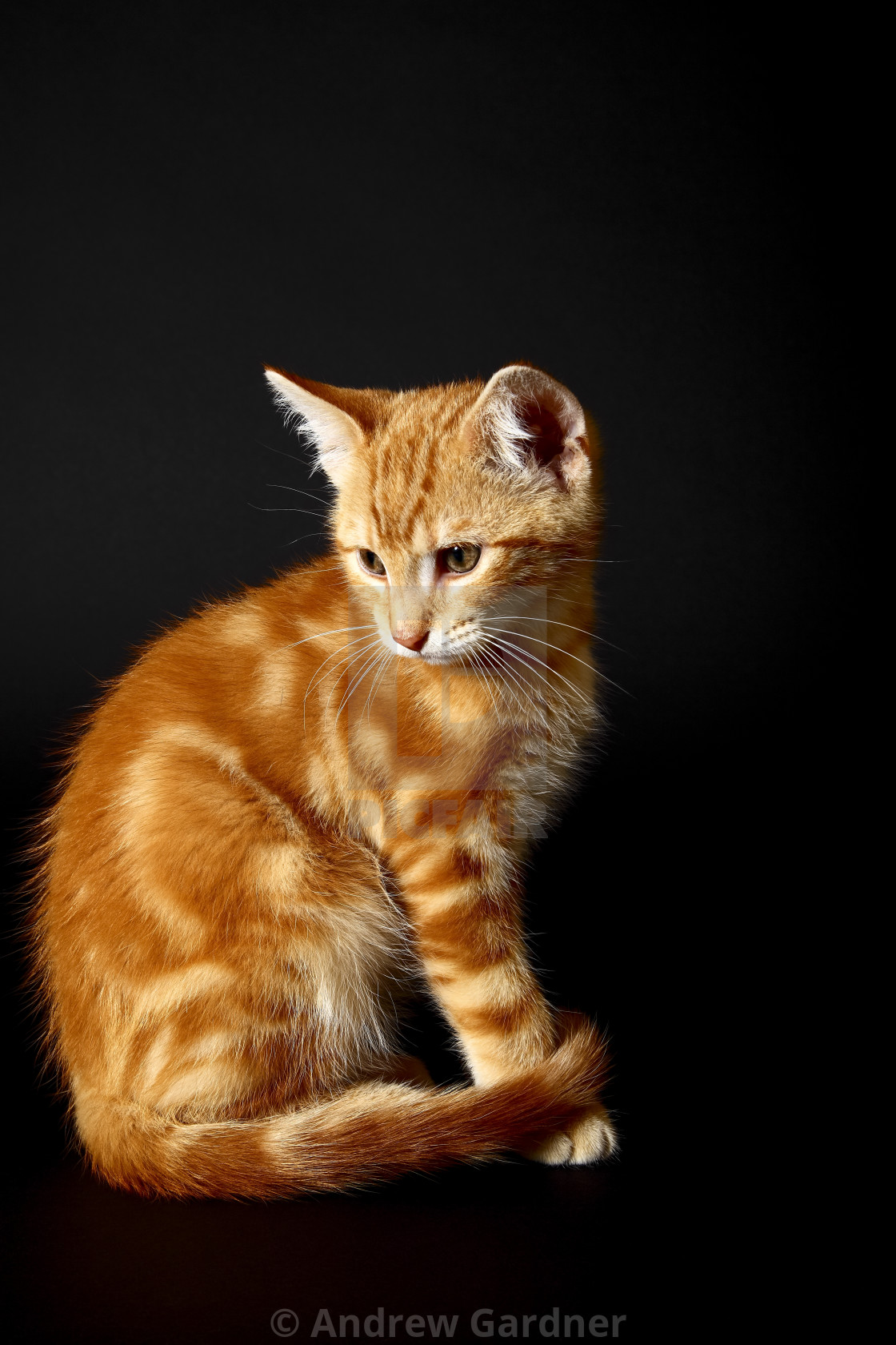 """Ginger tabby kitten sat side on and isolated on a black background with space for copy"" stock image"