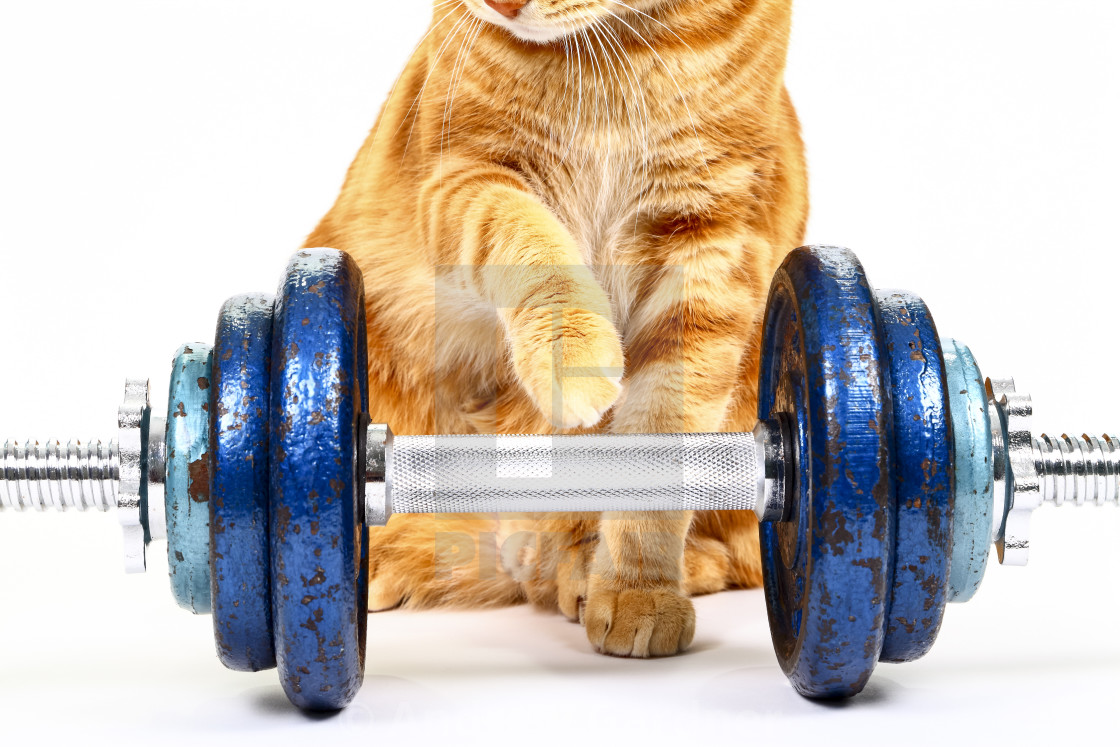 """Conceptual image of a cats paw reaching out to cast iron dumbbells on a spinlock bar"" stock image"