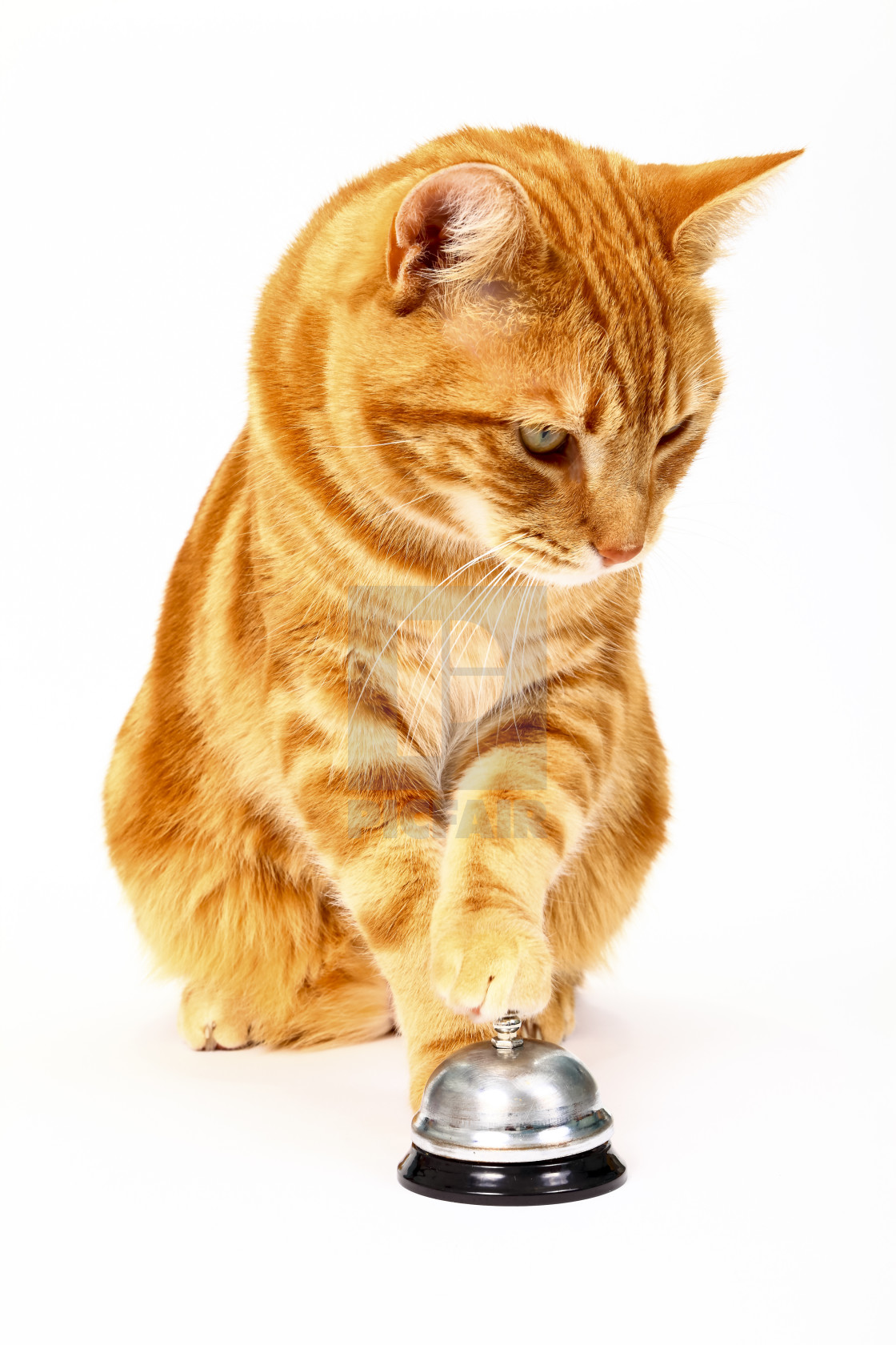 """Ginger tabby cat ringing a service bell for attention isolated on a white background"" stock image"