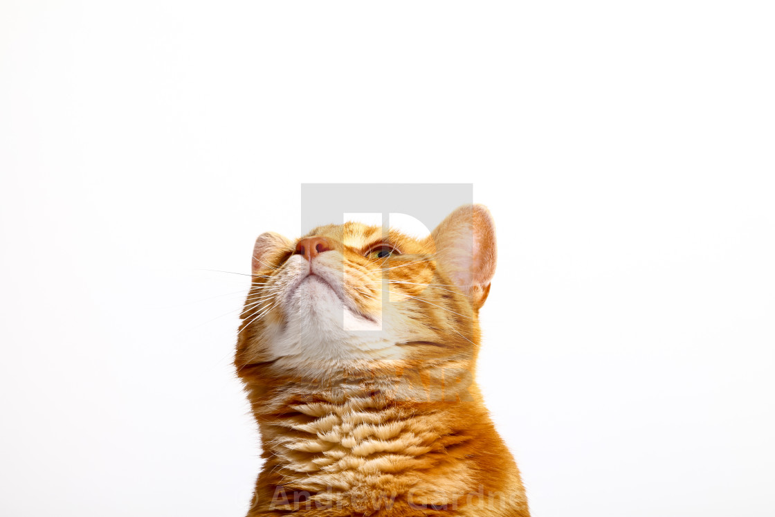 """Ginger tabby cat looking upwards on a plain white background"" stock image"