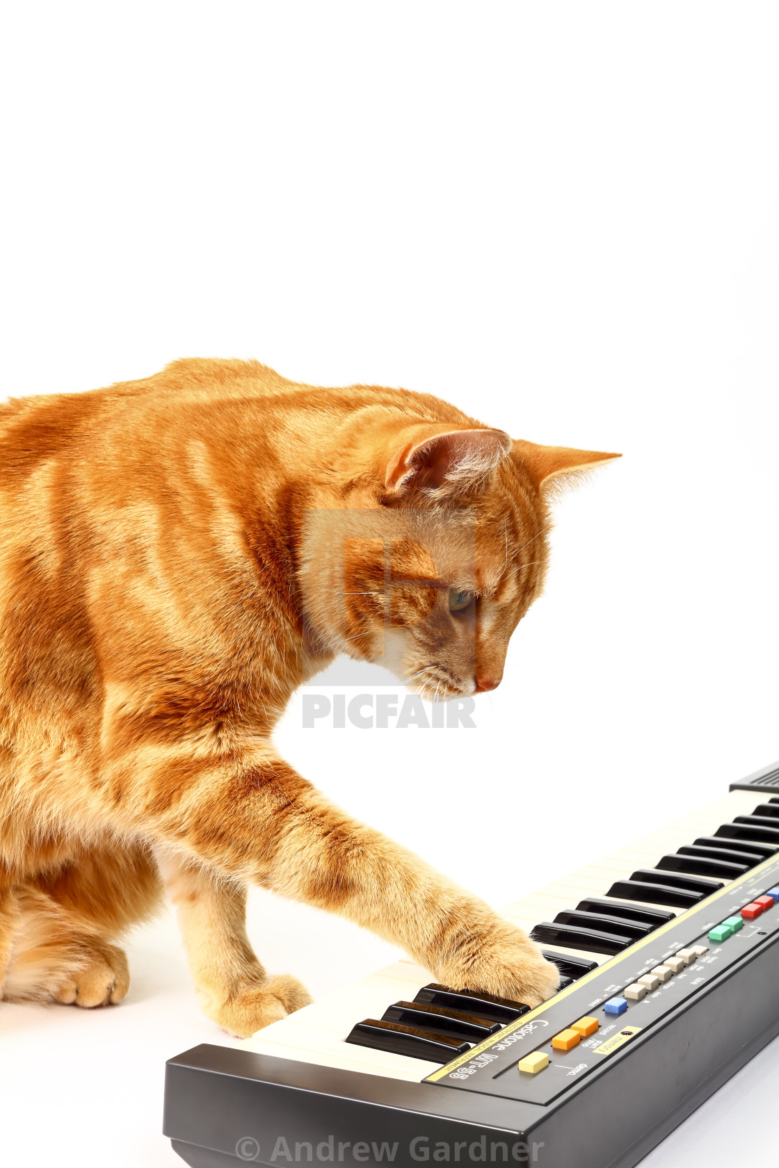 """Ginger tabby cat playing a piano keyboard isolated on a white background"" stock image"