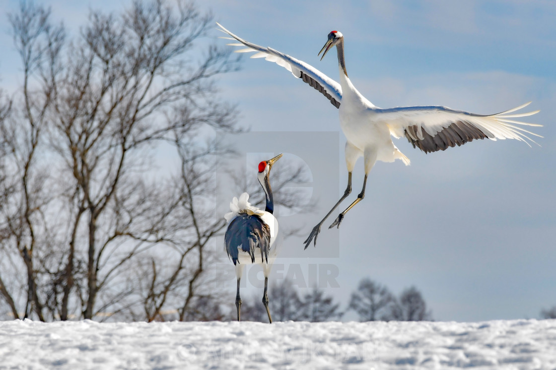"""Red Crowned Cranes Dance 03"" stock image"