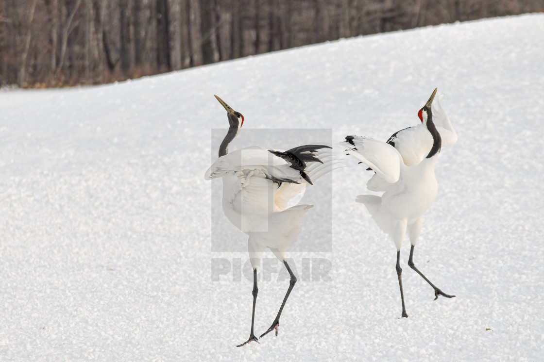 """""""Red Crowned Cranes Dance 07"""" stock image"""