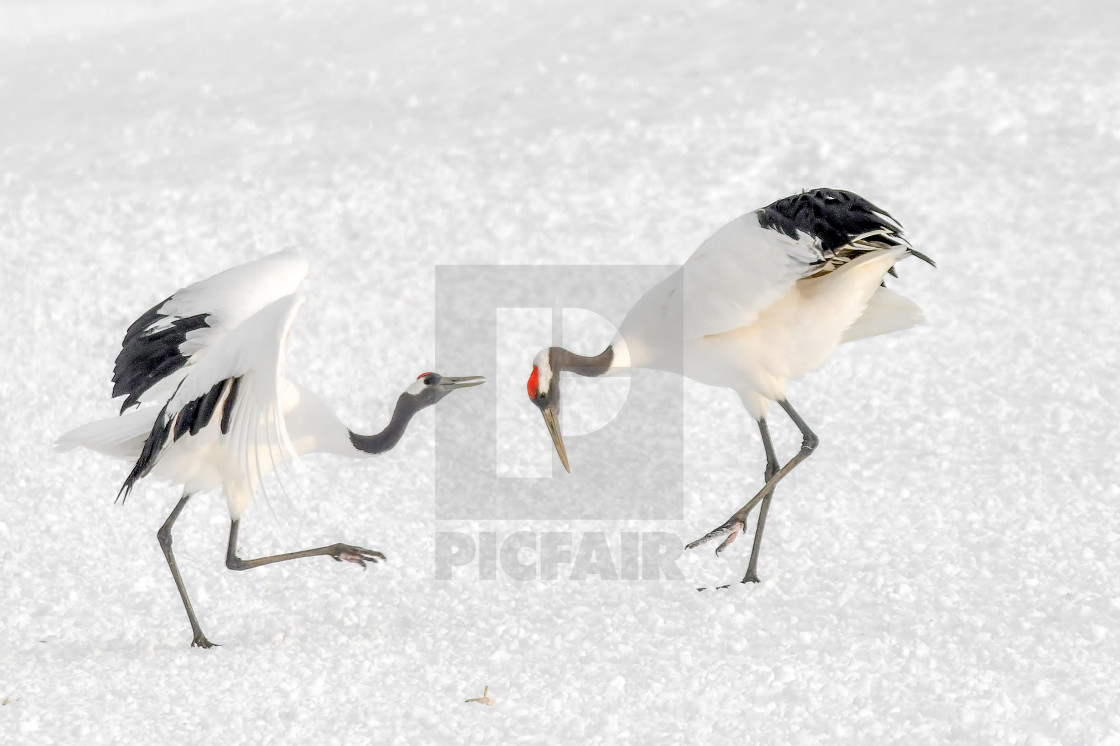 """""""Red Crowned Cranes Dance 04"""" stock image"""