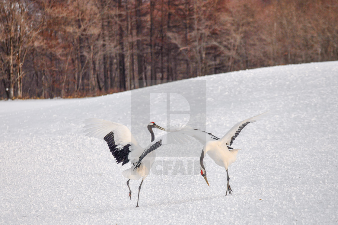 """""""Red Crowned Cranes Dance 05"""" stock image"""