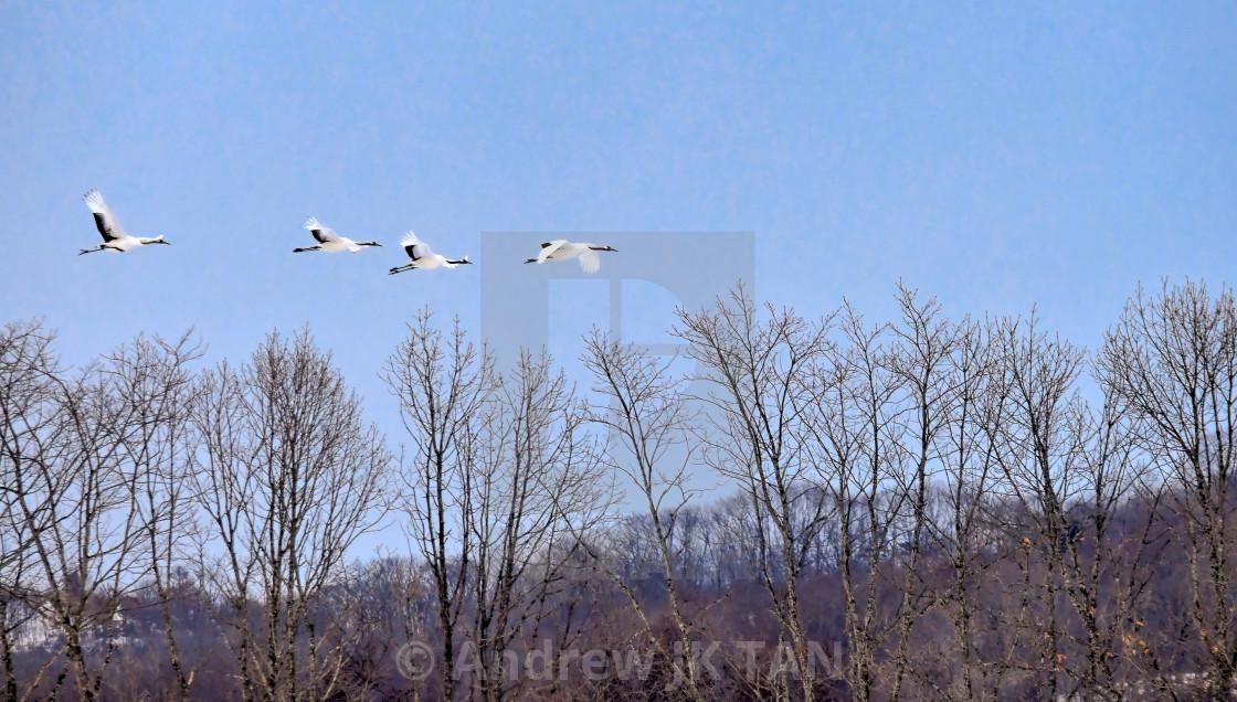 """""""Cranes in Flight"""" stock image"""