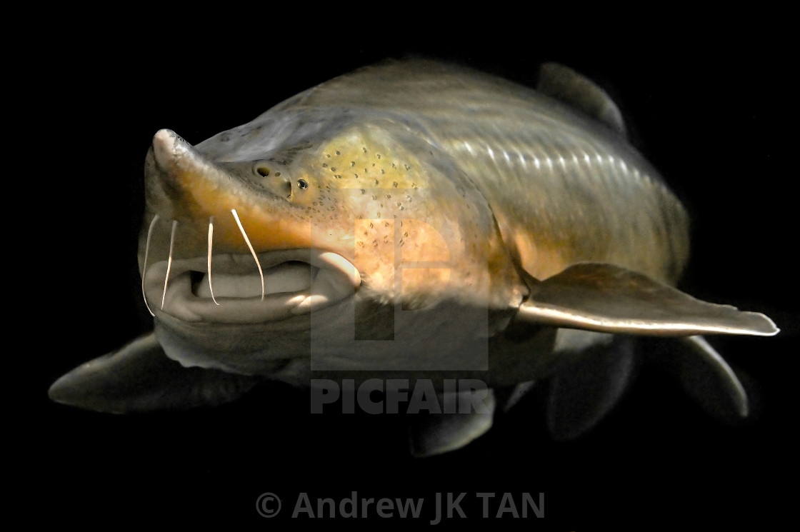 """Sturgeon Close Up 05"" stock image"