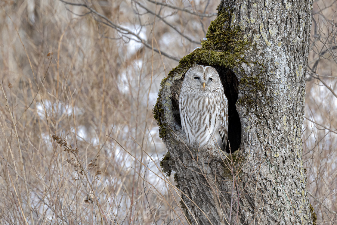 """Ural Owl 02"" stock image"