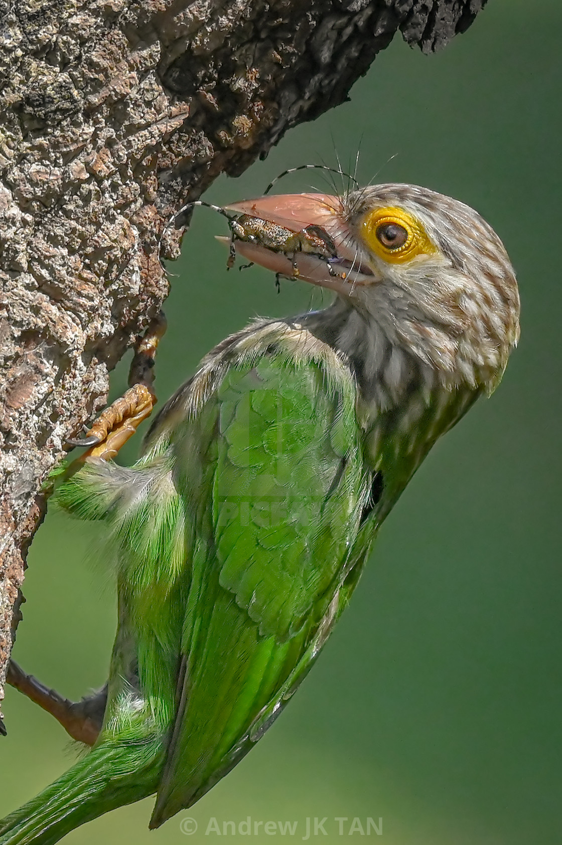 """""""Lineated Barbet 01"""" stock image"""
