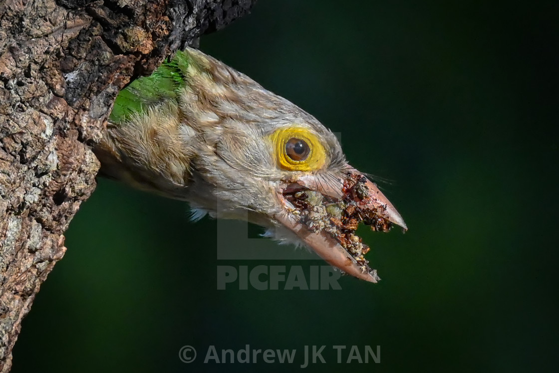 """Lineated Barbet 03"" stock image"