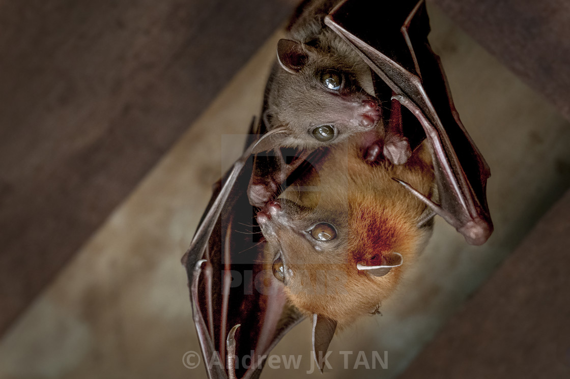 """Caring for Juvenile Bat 04"" stock image"