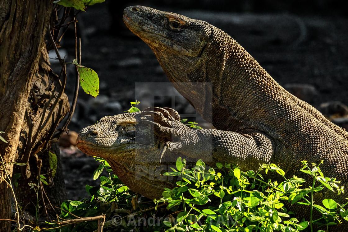 """Komodo Dragons mating 02"" stock image"