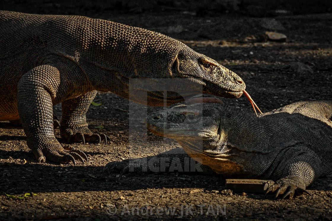 """Komodo Dragons 01"" stock image"