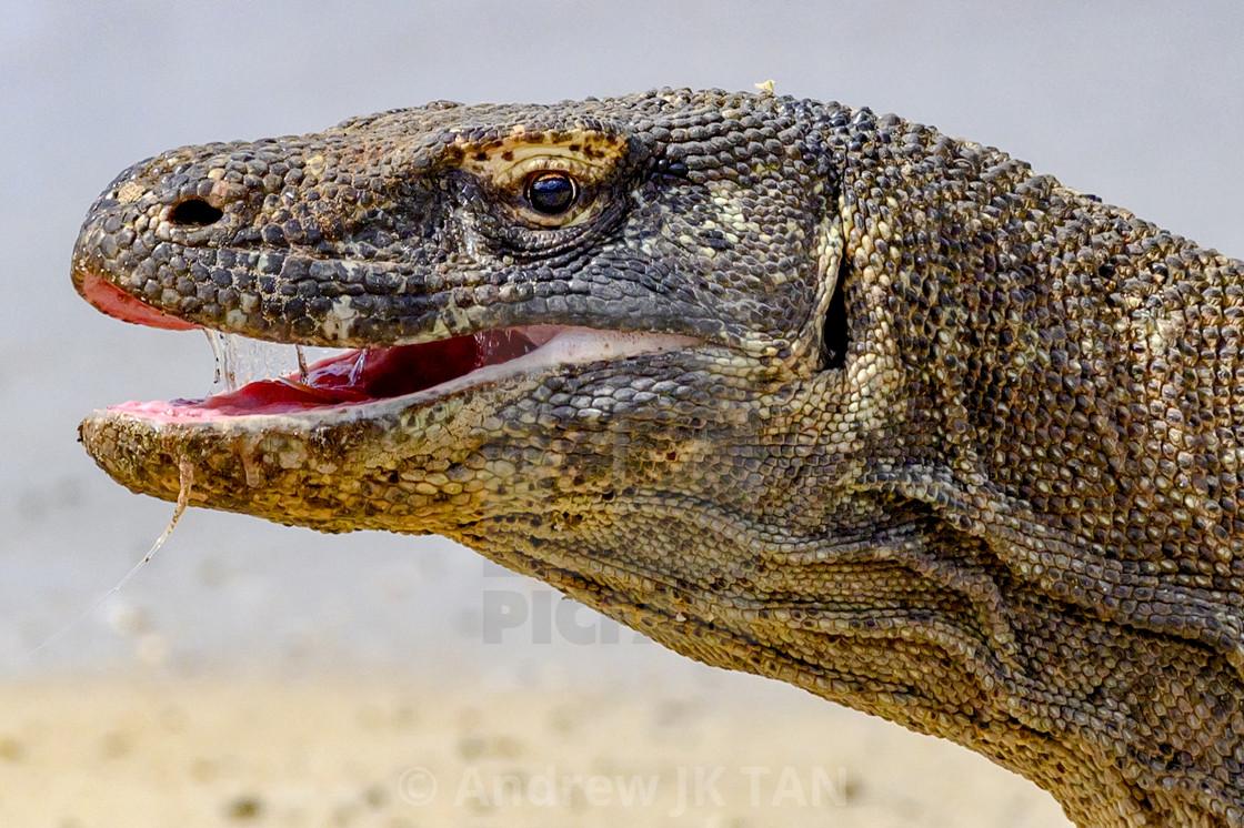 """Komodo Dragon 07"" stock image"