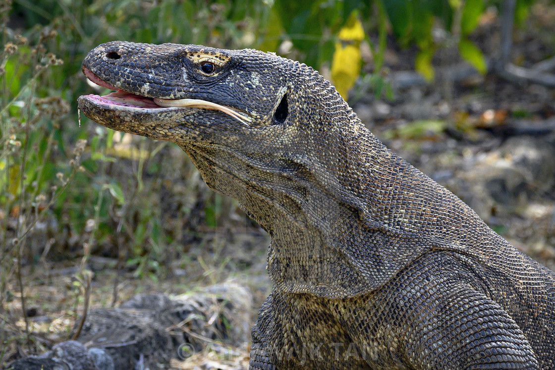 """Komodo Dragon 04"" stock image"