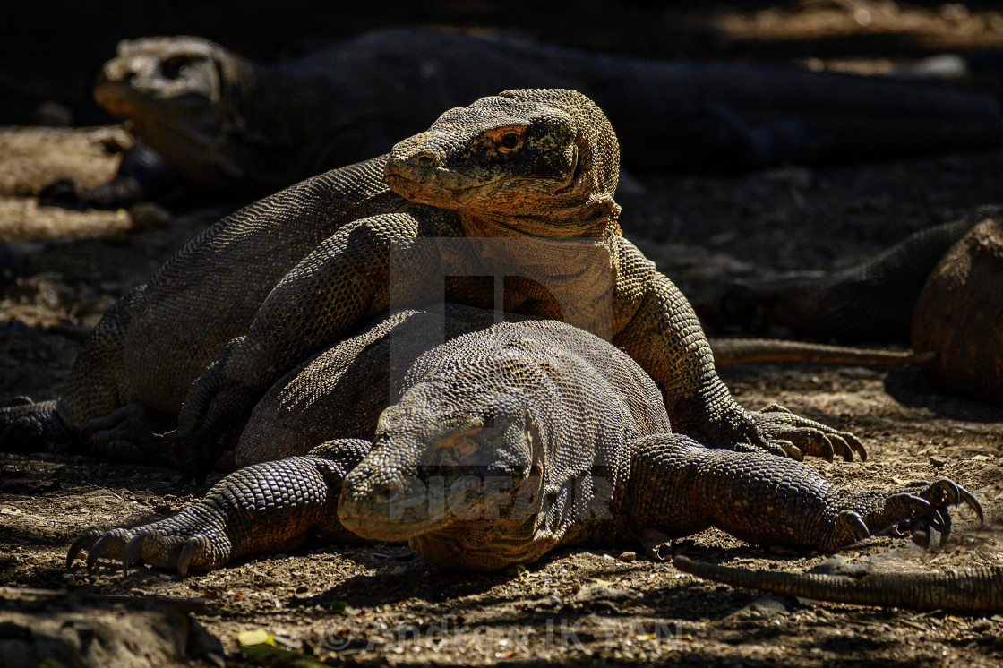 """Komodo Dragons Mating 03"" stock image"