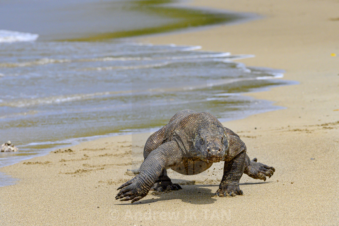 """Komodo Dragon 11"" stock image"
