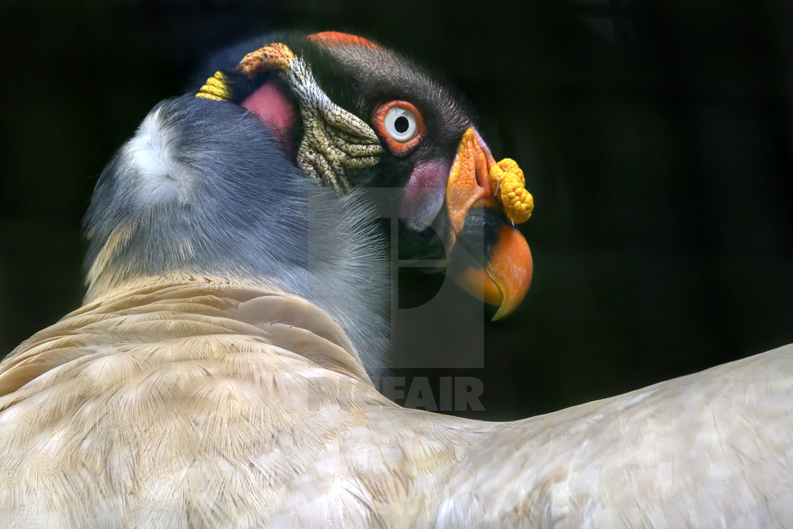 """King Vulture"" stock image"