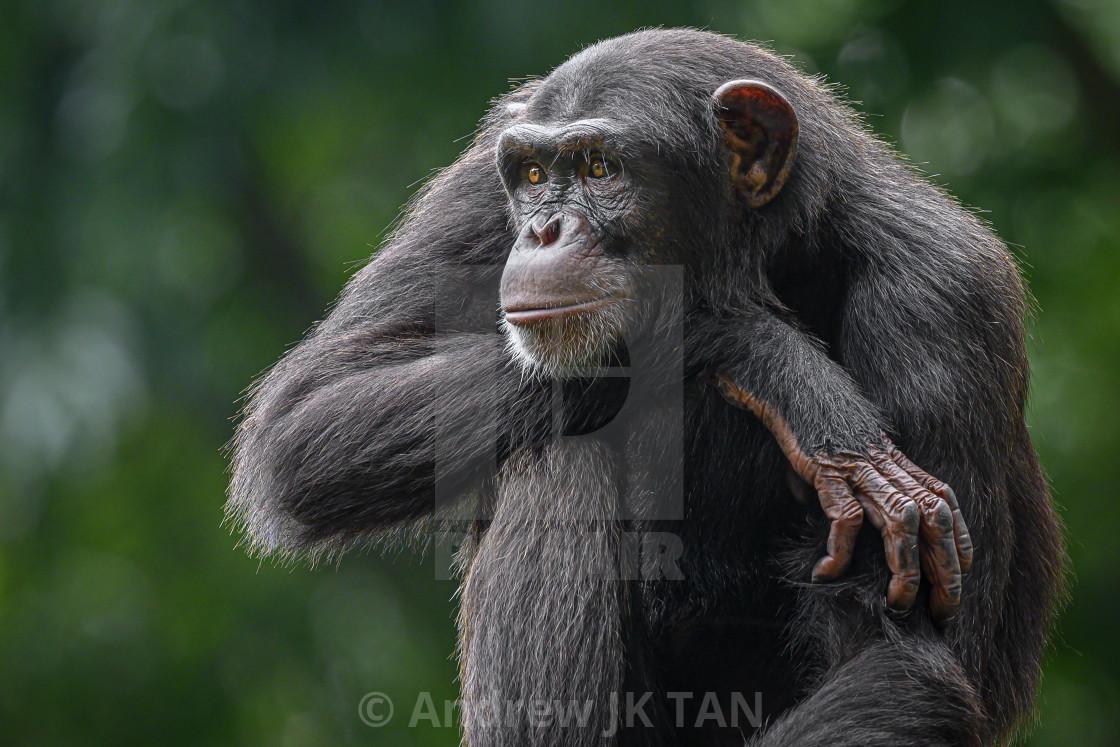 """Chimpanzee 02"" stock image"