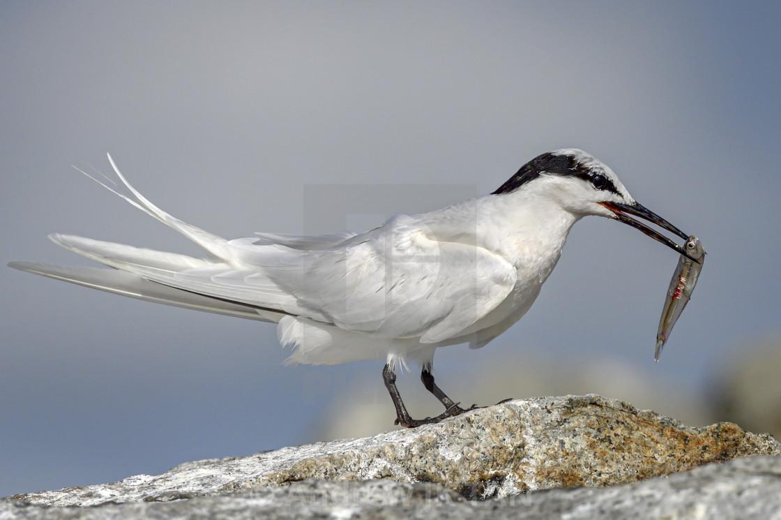 """Black Naped Tern 02"" stock image"