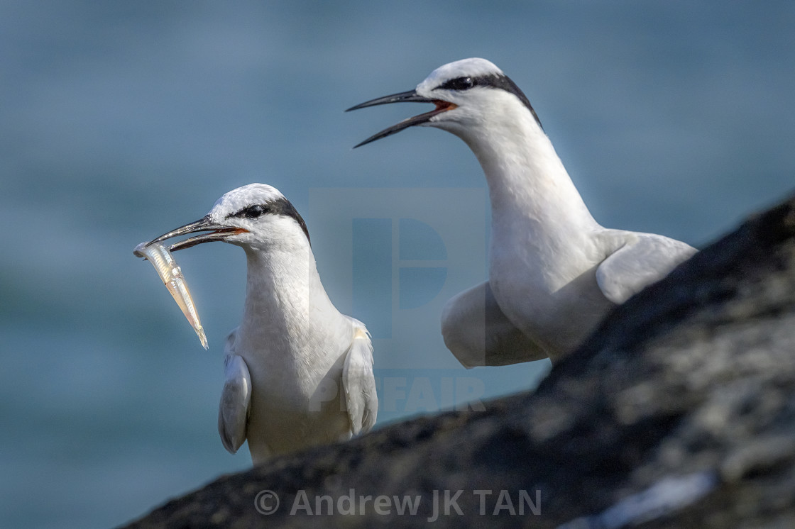 """Black Naped Terns 04"" stock image"