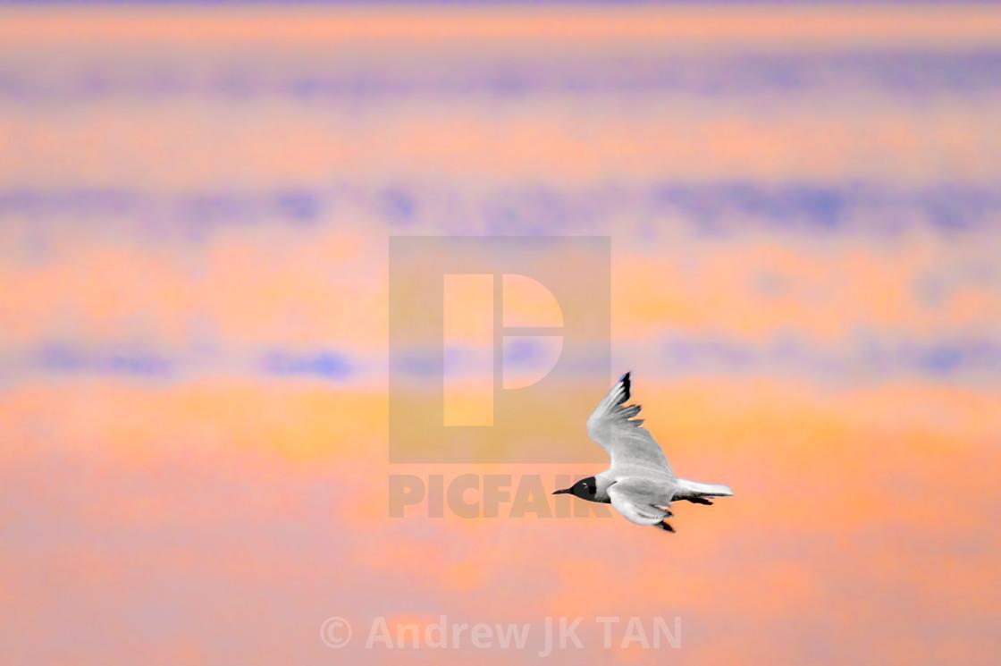 """""""Black Headed Gull"""" stock image"""