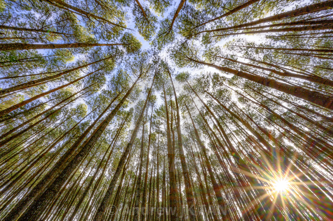 """Pine Trees Forest 01"" stock image"