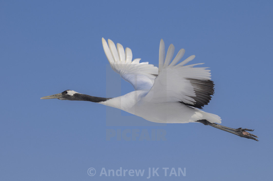 """Red-Crowed Crane in flight 03"" stock image"