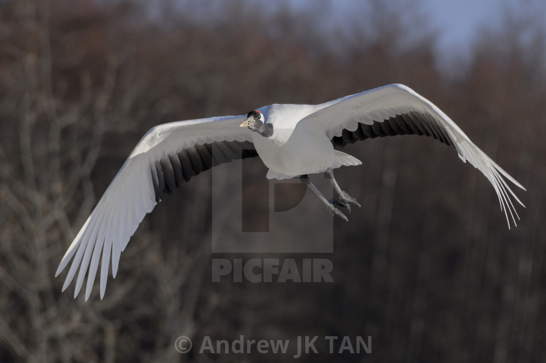 """Red-Crowed Crane in flight 04"" stock image"