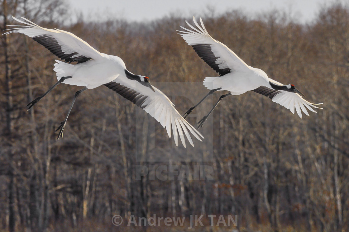 """Red-Crowed Cranes in flight 05"" stock image"