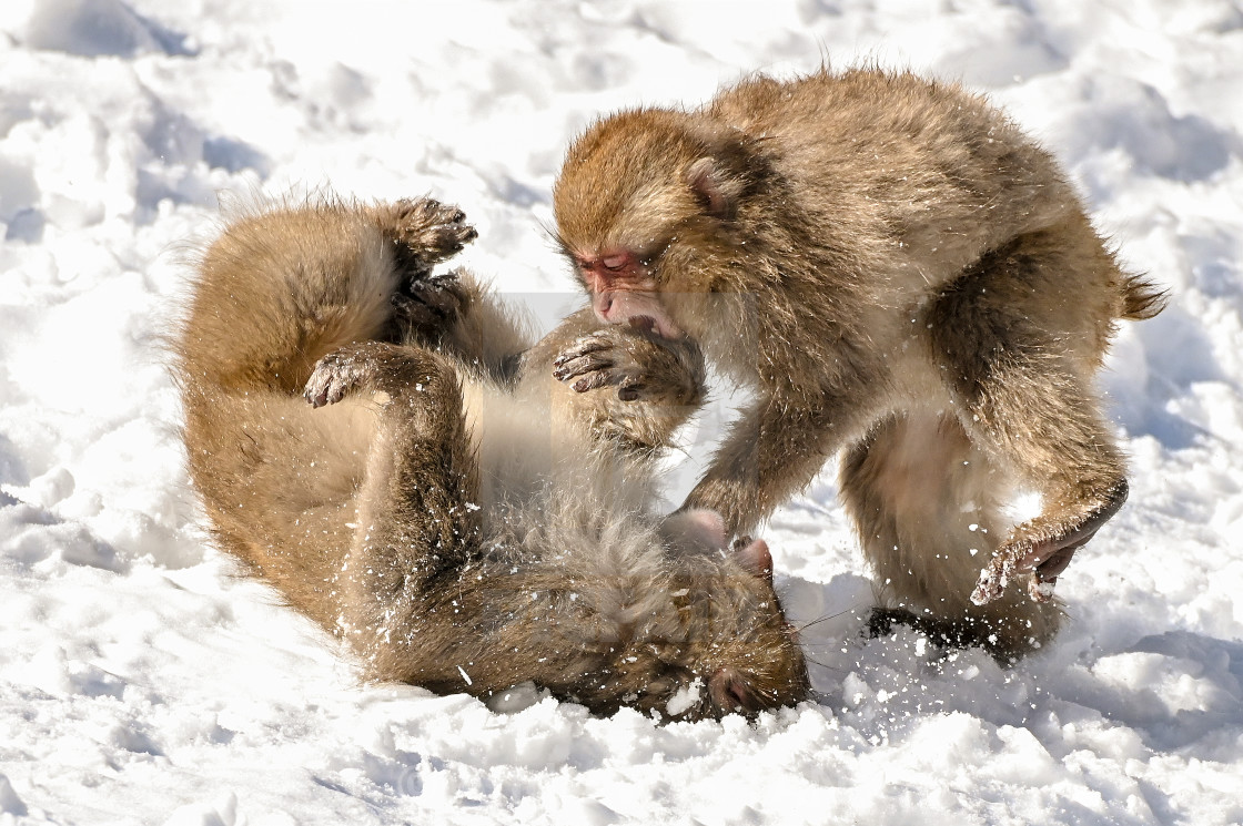 """Snow Monkeys 06"" stock image"