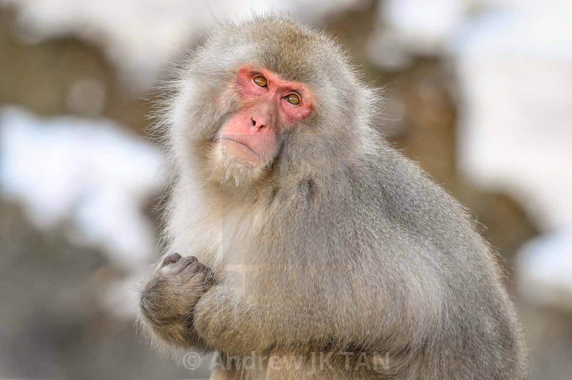 """Snow Monkey 08"" stock image"