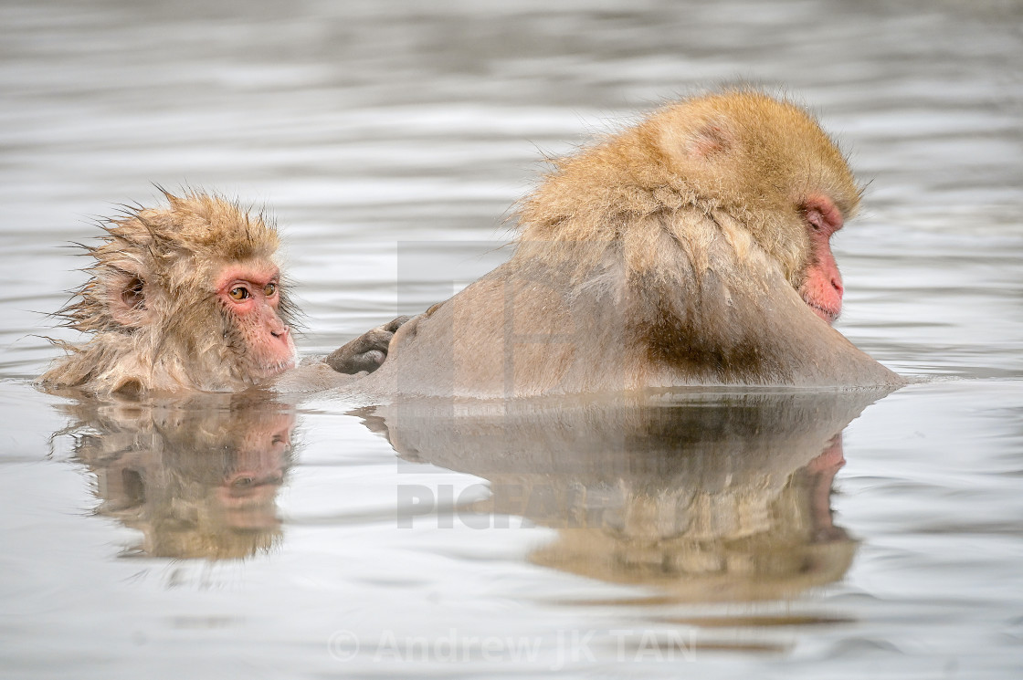 """Snow Monkeys 17"" stock image"