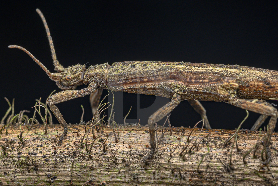 """Stick Insect"" stock image"