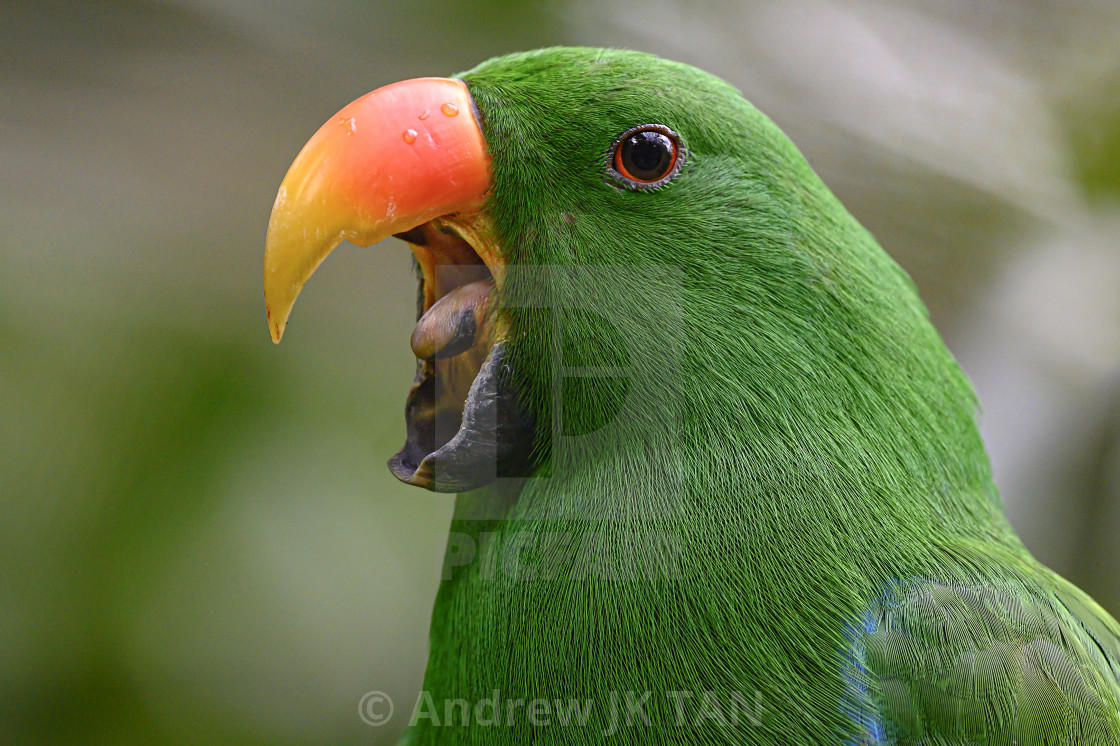 """Green Parakeet"" stock image"