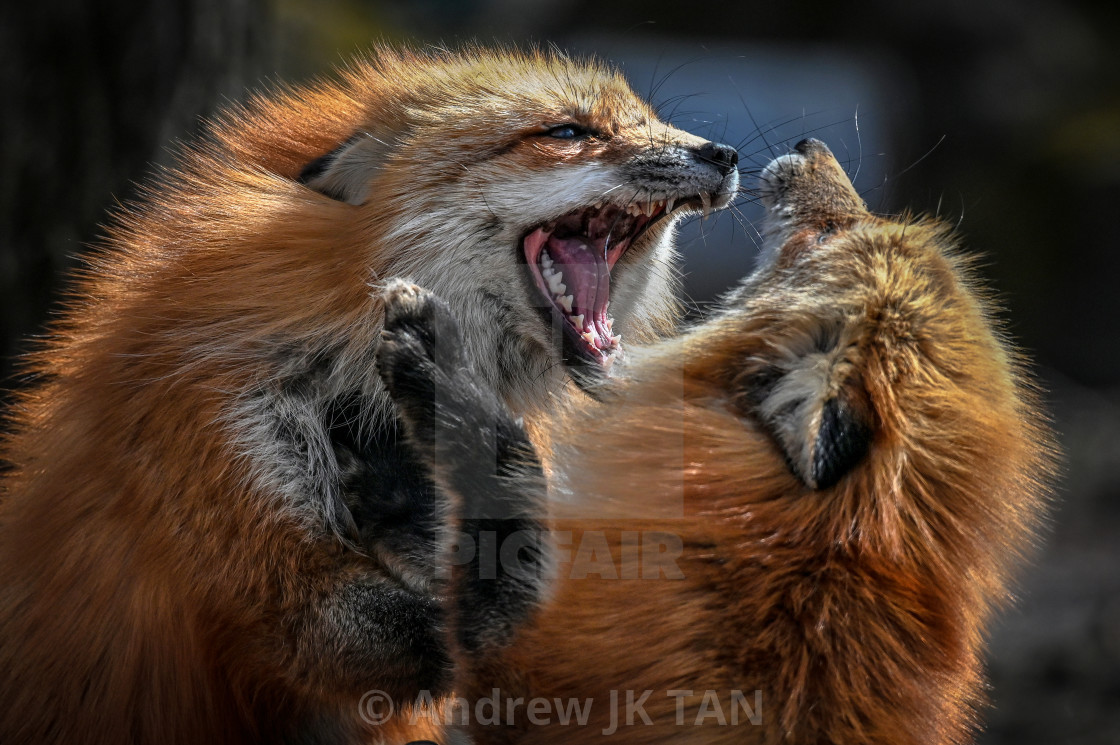 """Japanese Red Foxes"" stock image"