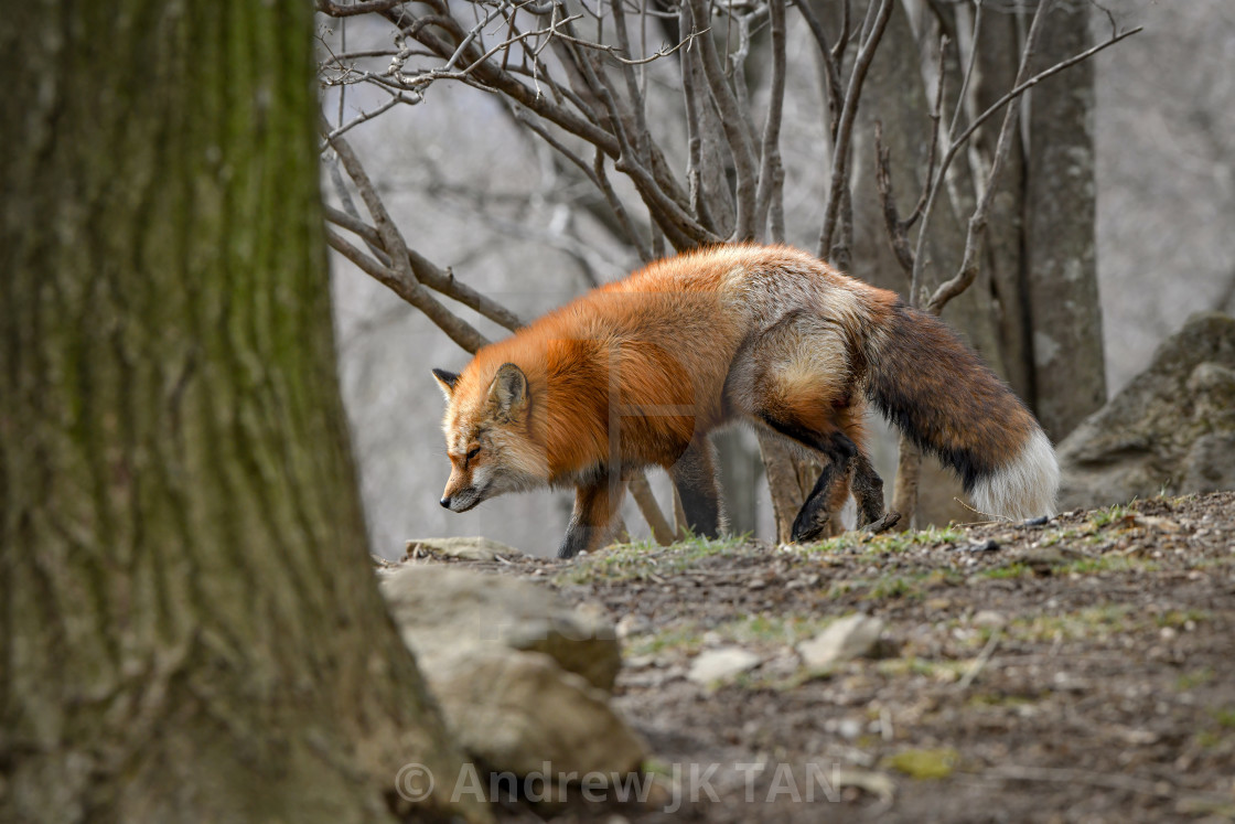 """Japanese Red Fox 05"" stock image"