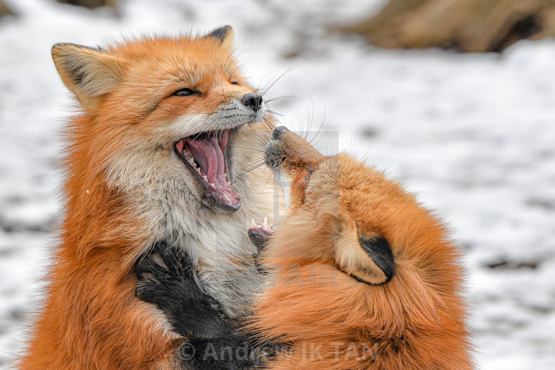 """Japanese Red Foxes 06"" stock image"