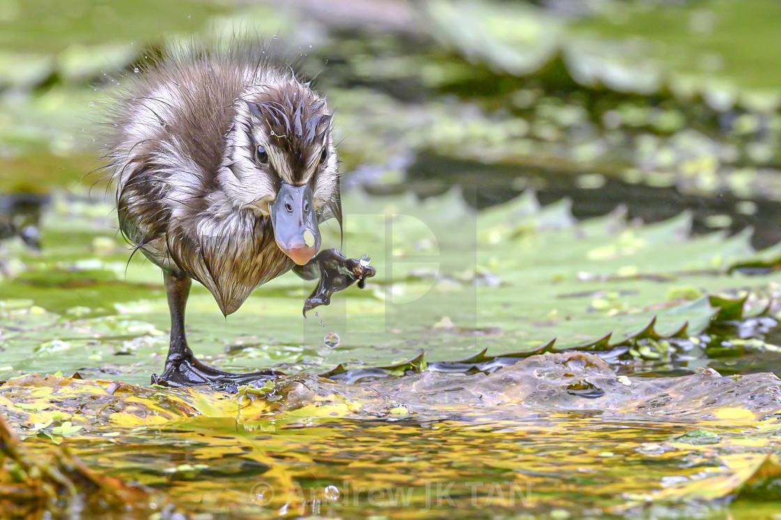 """Lesser Whistling Duckling 01"" stock image"