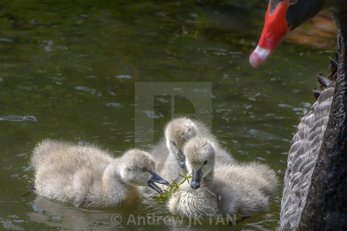 """""""Cygnets with Parent 01"""" stock image"""